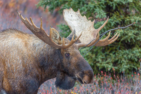 Photograph - Denali's King  by Kevin Dietrich