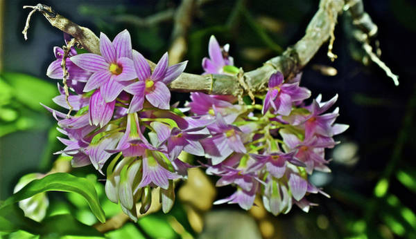 Photograph - Dendrobium Miyakei Orchids At The Conservatory 1 by Janis Nussbaum Senungetuk