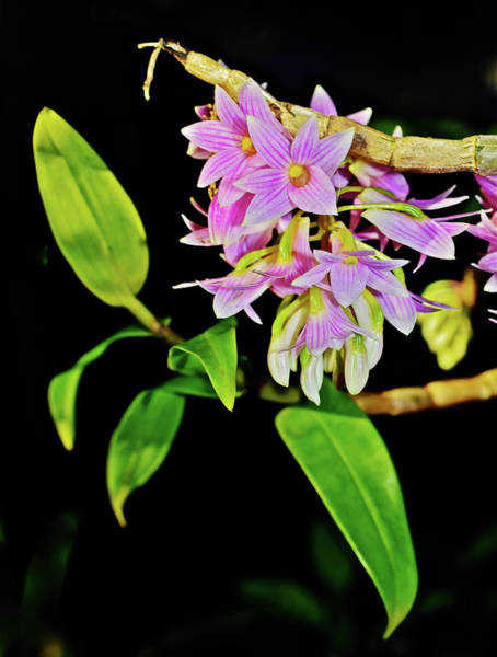 Photograph - Dendrobium Miyakei Orchids At The Conservatory 2 by Janis Nussbaum Senungetuk