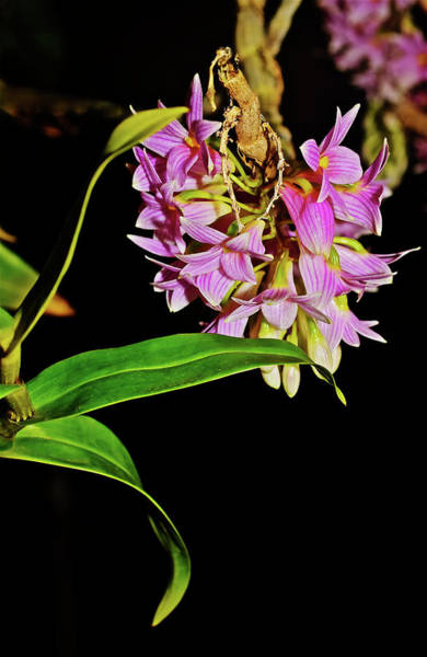 Photograph - Dendrobium Miyakei Orchids At The Conservatory 3 by Janis Nussbaum Senungetuk