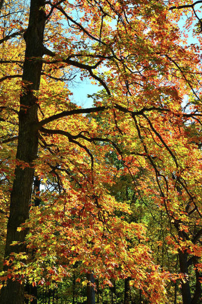 Photograph - Des Plaines River Sugar Maple In Full Fall Color by Ray Mathis
