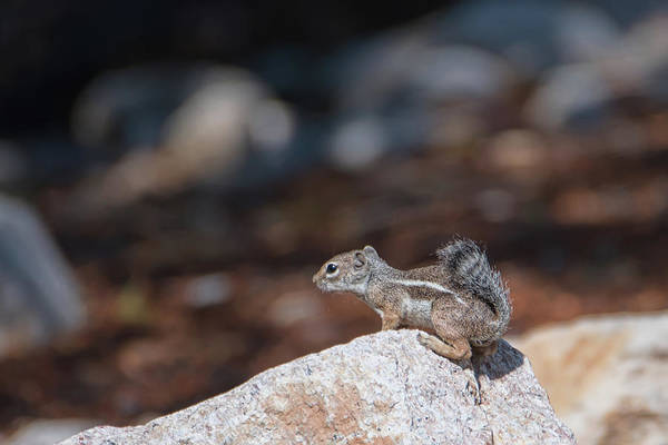 Photograph - Desert Antelope Squirrel by Dan McManus