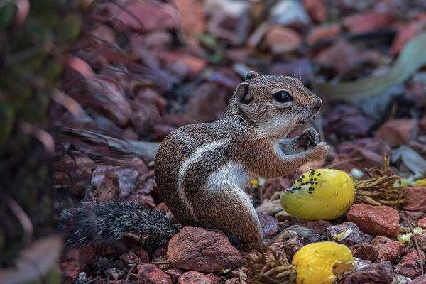 Photograph - Desert Antelope Squirrel Munching On Cactus Fruit by Dan McManus