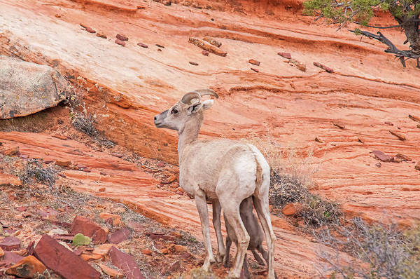 Wall Art - Photograph - Desert Bighorn Ewe With Nursing Lamb by Rich Leighton