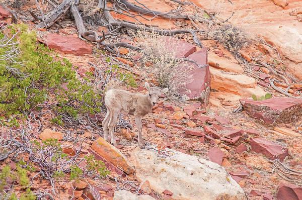 Wall Art - Photograph - Desert Bighorn Lamb by Rich Leighton