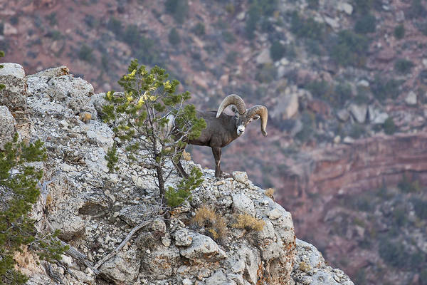 Wall Art - Photograph - Desert Bighorn Sheep by Mike Buchheit