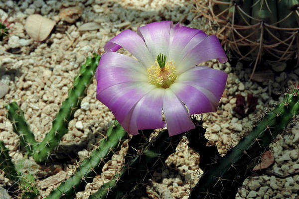 Photograph - Desert Bloom by Grace Dillon