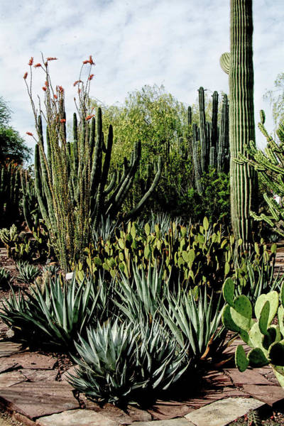 Photograph - Desert Botanical Garden by Tam Ryan