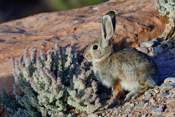 Wall Art - Photograph - Desert Bunny by Kathleen Bishop