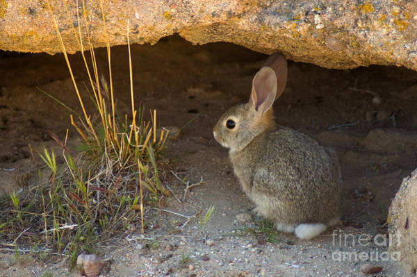 Cottontail Photograph - Desert Cottontail by Dan Suzio