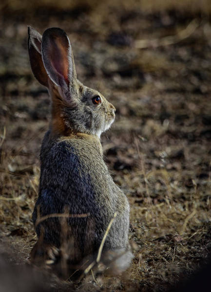 Photograph - Desert Cottontail by Rick Mosher