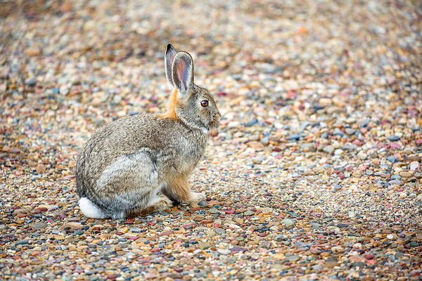 Gravel Road Photograph - Desert Cottontail by Todd Klassy
