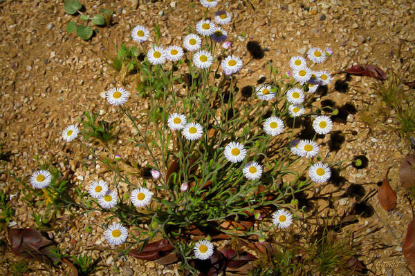 Photograph - Desert Daisies by Bonnie Follett