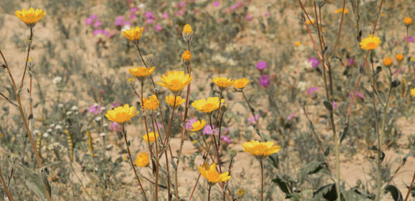 Photograph - Desert Daisy by Michael Hope