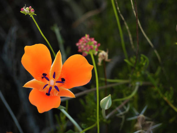 Photograph - Desert Flower 3 by Penny Lisowski