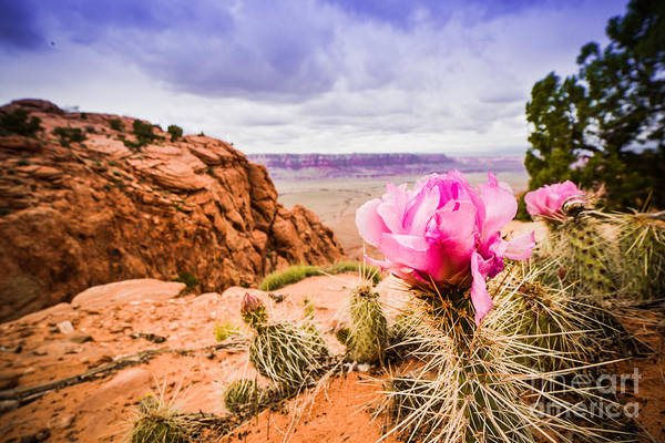 Photograph - Desert Flower by Jim DeLillo