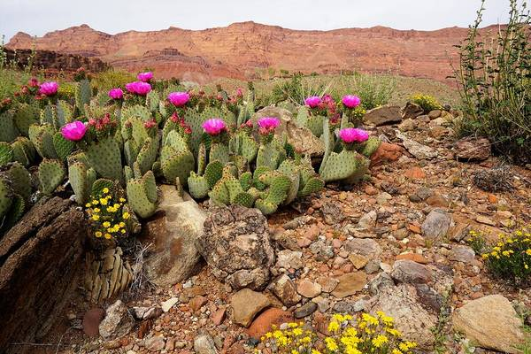 Photograph - Desert Cactus In Bloom by Tranquil Light Photography