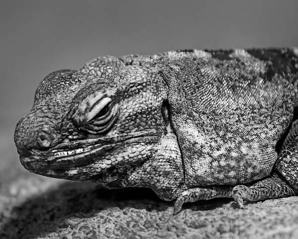 Photograph - Desert Iguana H1801 by Mark Myhaver