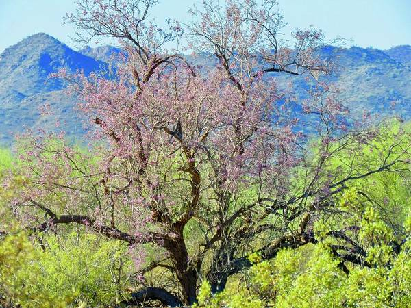 Photograph - Desert Ironwood Beauty by Judy Kennedy