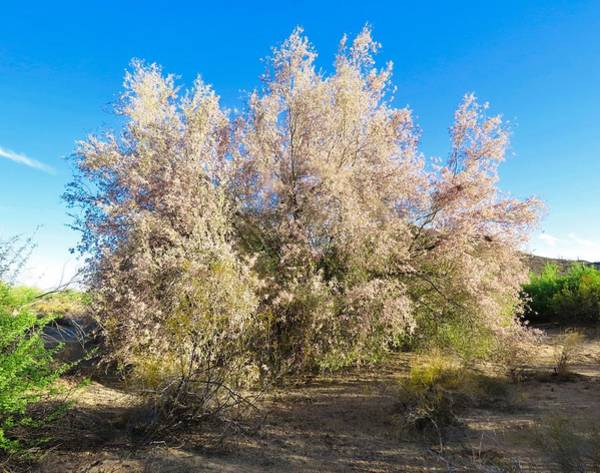Photograph - Desert Ironwood Tree In Bloom - Early Morning by Judy Kennedy