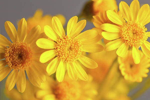 Photograph - Desert Marigolds by SR Green