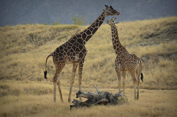 Photograph - Desert Palm Giraffe by Guy Hoffman