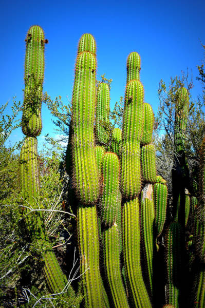 Photograph - Desert Plants - Standing Tall by Glenn McCarthy