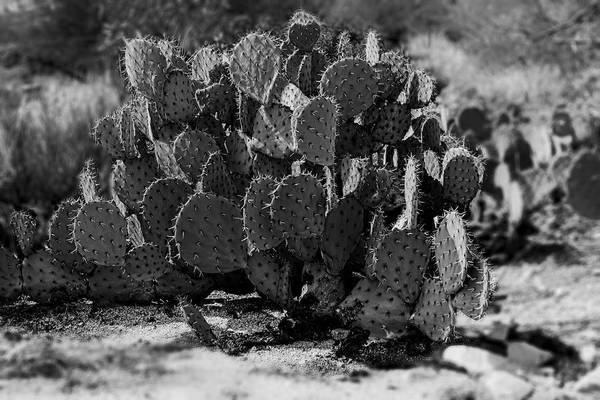 Photograph - Desert Prickly-pear No7 by Mark Myhaver