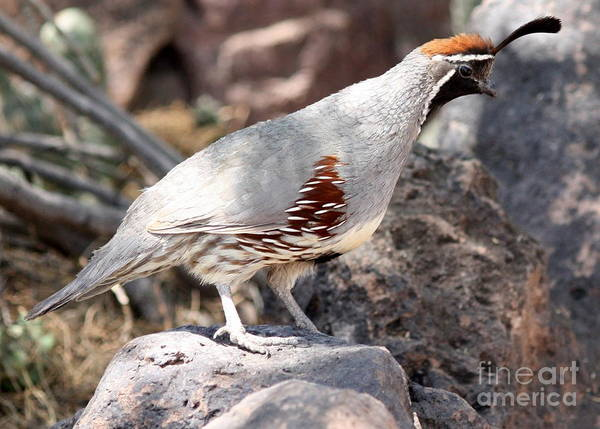 Wall Art - Photograph - Desert Quail On Gray Rock by Carol Groenen