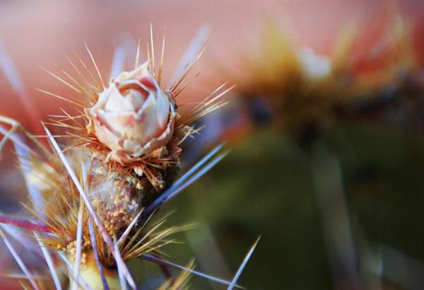 Photograph - Desert Rose by Linda Shafer