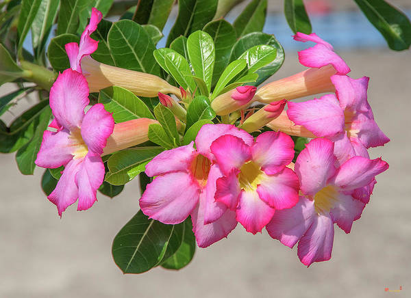 Photograph - Desert Rose Or Chuanchom Dthb2106 by Gerry Gantt