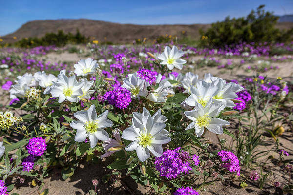 Photograph - Desert Super Bloom 2017 by Peter Tellone