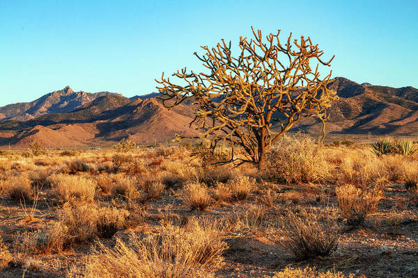 Photograph - Desert Tree And Hualapai Mountains by Bonnie Follett