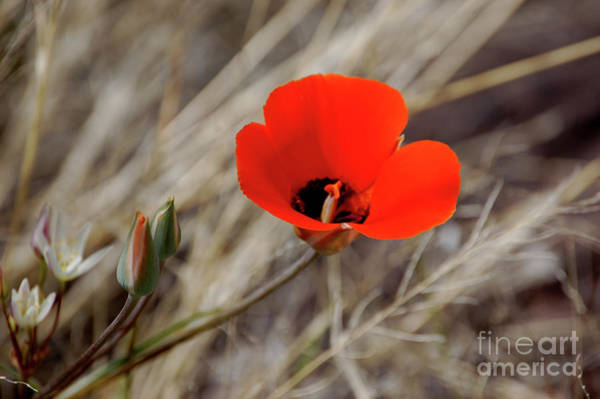 Photograph - Desert Wildflower by Frank Stallone