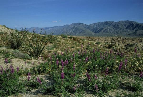 Photograph - Desert Wildflowers Badlands Mountains by Don Kreuter