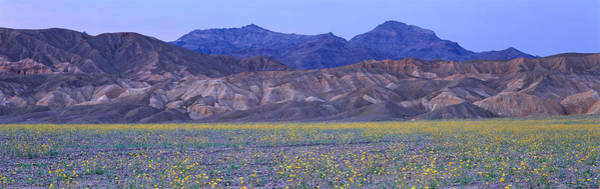Wall Art - Photograph - Desert Wildflowers, Death Valley by Panoramic Images