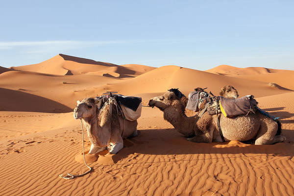 Photograph - Desert With Camels by Aivar Mikko