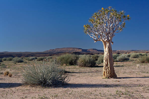 Photograph - Desert With Quiver Tree by Aivar Mikko