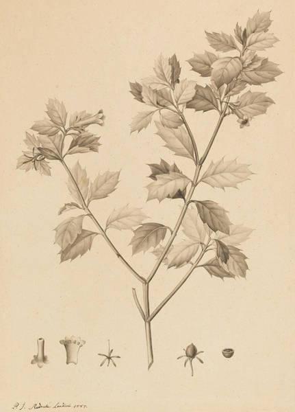 Plants Drawing - Desfonainia Spinosa by Pierre Joseph Redoute