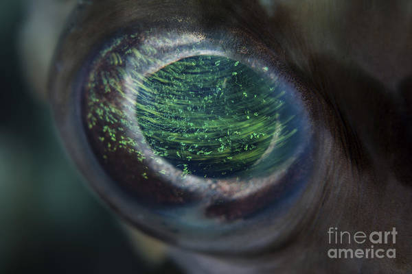 Balloonfish Photograph - Detail Of The Eye Of A Porcupinefish by Ethan Daniels
