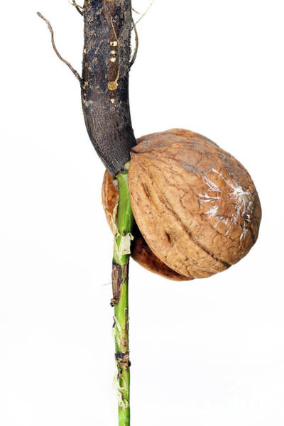 Wall Art - Photograph - Detail Of The Sprouting Nut by Michal Boubin