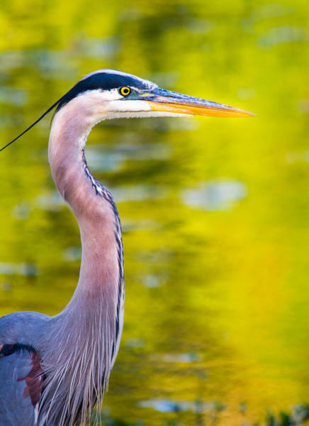 Herron Photograph - Details Of A Great Blue Heron  by Parker Cunningham