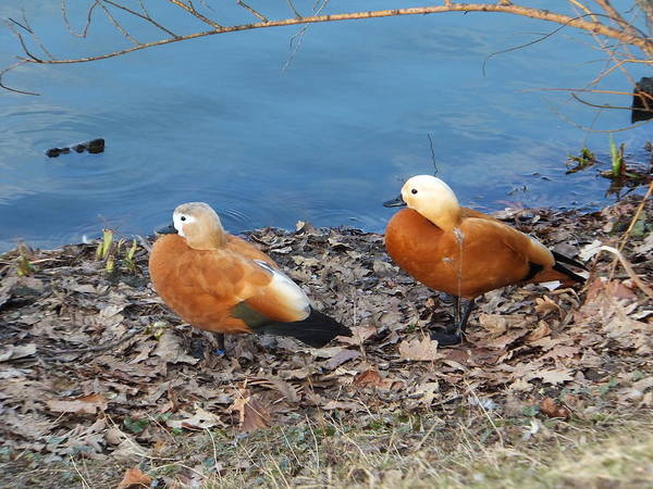 Photograph - Deux Canards by Marc Philippe Joly