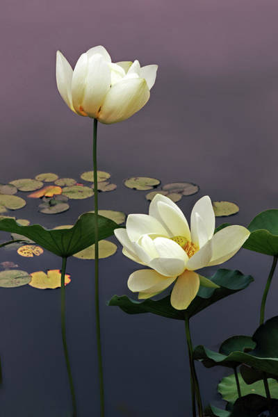 Pink Lotus Flower Photograph - Devotion by Jessica Jenney