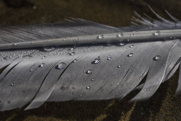Photograph - Dew Beads On Feather by Robert Potts