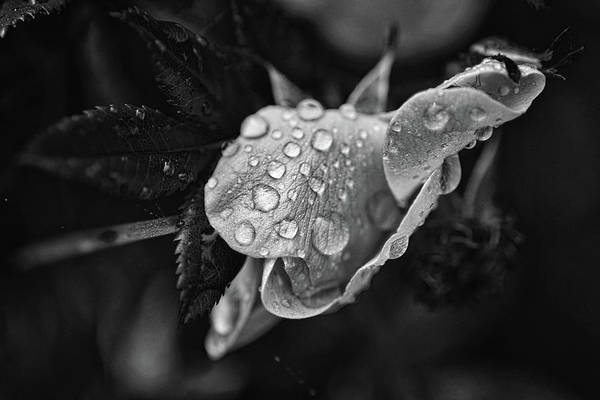 Wall Art - Photograph - Dew Collector 4 by Susan Capuano