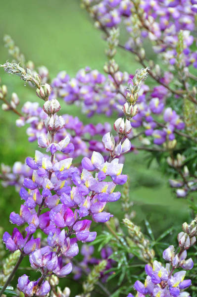 Photograph - Dew Covered Lupines In The Simi Hills by Lynn Bauer