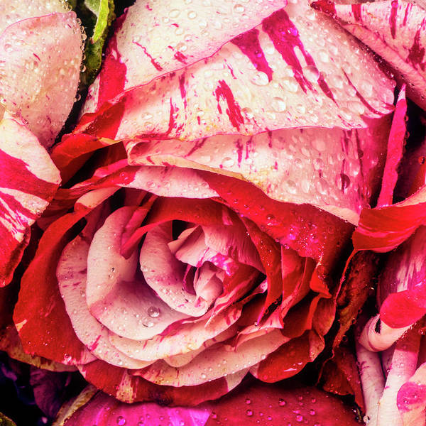 Wall Art - Photograph - Dew Covered Red White Rose by Garry Gay