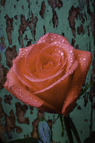 Wet Rose Wall Art - Photograph - Dew Covered Rose by Garry Gay