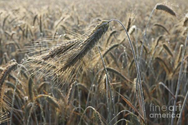Wall Art - Photograph - Dew Drops On A Ear Of Barley In A Field by Michal Boubin
